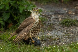 Female Sparrowhawk bird of prey with Starling captured in her sharp talons on the ground drowning the bird in a muddy puddle of water. Sparrowhawk in a Mantling pose hiding it's catch from predators.