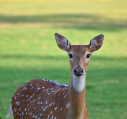 female spotted deer or chital deer, Close up portrait of a female spotted deer