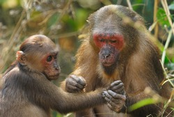 Female Stump-tailed Macaque grooming a youngster in Thailand