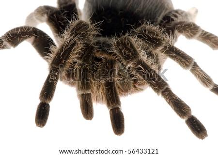 female tarantula isolated over white #56433121