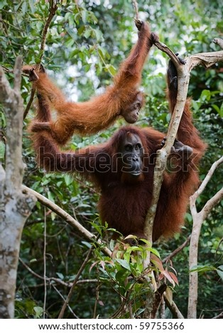Female the orangutan with a cub in branches of trees./ Inonesia. Borneo.