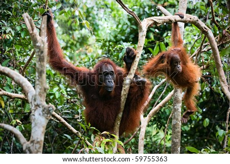 Female the orangutan with the kid in branches of trees. Indonesia.Borneo