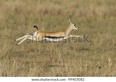 Female Thompson's gazelle running (Eudorcas thomsonii) Tanzania's Serengeti