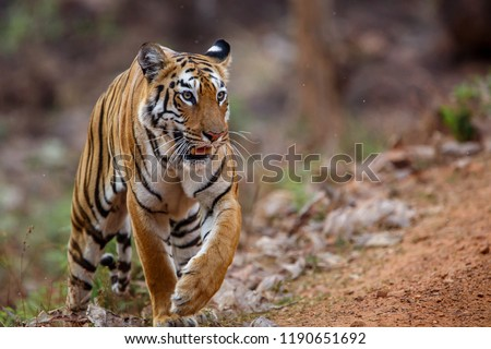 Female tiger on the move for hunting in Tadoba National Park in India