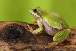 female tree frog on wooden stump ( Hyla arborea )