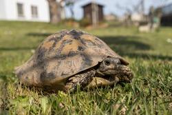Female turtle. Land turtle strolling in the garden. Garden reptile. Hermann's tortoise, land tortoise