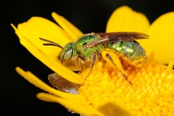 Female Ultra Sweat Bee (Agapostemon texanus) on Yellow Daisy