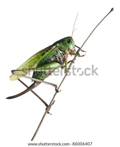 Stock Photo Female wart-biter, a bush-cricket, Decticus verrucivorus, in front of white background