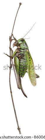 Stock Photo Female wart-biter, a bush-cricket, Decticus verrucivorus, in front of white background