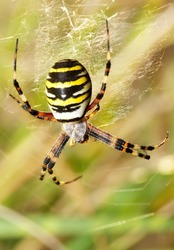 female wasp spider in macro