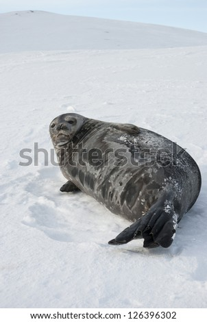 Female Weddell seal lying on a ski slope of the Antarctic Islands.