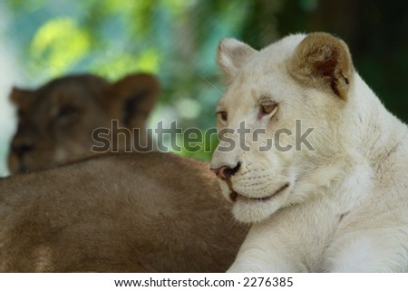 Female while lion lying down next to other lions
