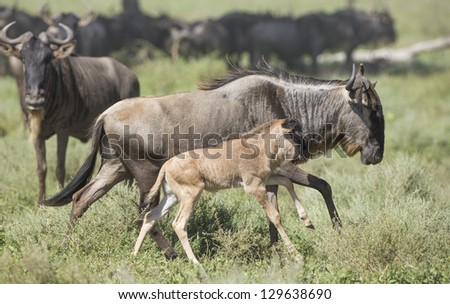 Female White Bearded Wildebeest running with its new born calf,  in the Ndutu area of the Ngorongoro Conservation area of Tanzania. (Connochaetes taurinus mearnsi) February