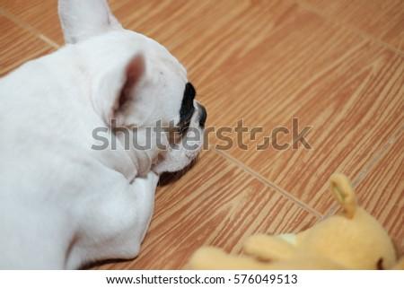 Female white french bulldog waiting owner - Shutterstock ID 576049513