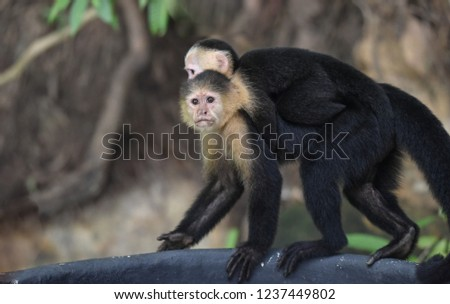 Female White-headed capuchin (Cebus capucinus) with her offspring.  Medium sized monkey of the family Cebidae, subfamily Cebinae, carries her offspring on her back in her jungle home in Panama. #1237449802