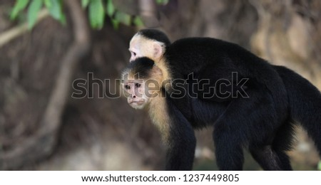 Female White-headed capuchin (Cebus capucinus) with her offspring.  Medium sized monkey of the family Cebidae, subfamily Cebinae, carries her offspring on her back in her jungle home in Panama. #1237449805