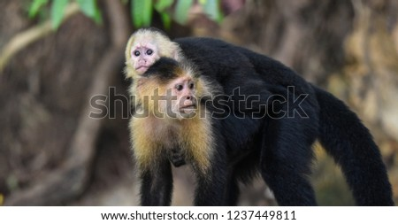 Female White-headed capuchin (Cebus capucinus) with her offspring.  Medium sized monkey of the family Cebidae, subfamily Cebinae, carries her offspring on her back in her jungle home in Panama. #1237449811
