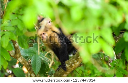 Female White-headed capuchin (Cebus capucinus) with her offspring.  Medium sized monkey of the family Cebidae, subfamily Cebinae, carries her offspring on her back in her jungle home in Panama. #1237449814
