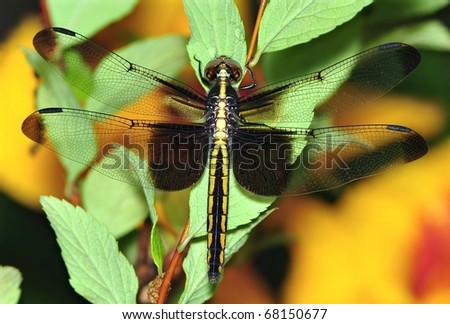 external image stock-photo-female-widow-skimmer-dragonfly-libellula-luctuosa-in-the-garden-68150677.jpg