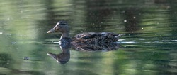Female wild duck. Portrait at sunrise of a duck with reflection in green water. Long cover or social media.