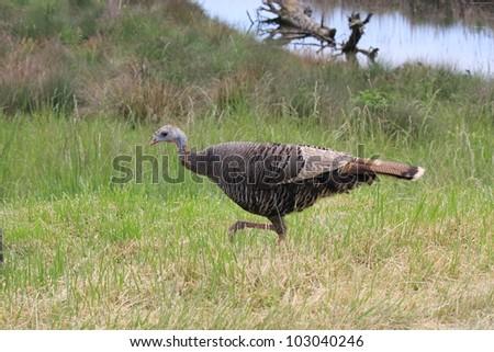 Female wild turkey is walking near a pond
