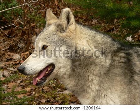 Female Wolf Profile