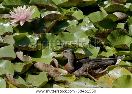 Female Wood Duck Hiding in Lily Pads