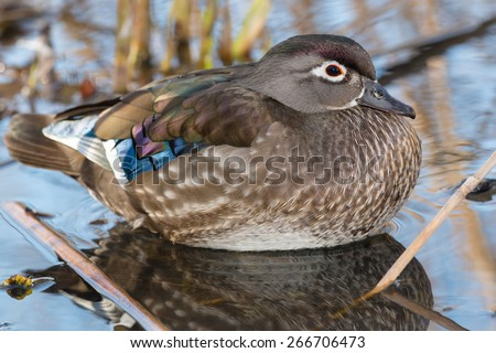 Female Wood Duck relaxing in the reeds at the edge of a pond.