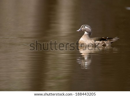 Female wood duck swimming in a small pond in spring
