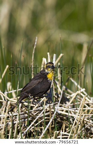Female Yellow-headed Blackbird perched above her nest