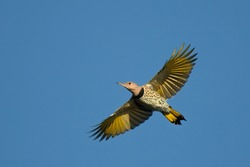 Female Yellow-shafted Northern Flicker (Colaptes auratus luteus) in flight against blue sky