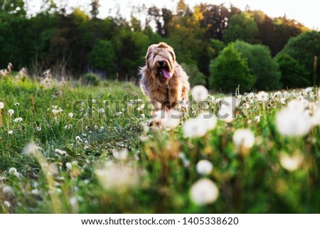 Female young dog briard (french shepherd) with tongue out goes through the meadow full of white fluffy dandelions and green grass. #1405338620