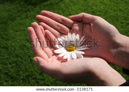 Feminine hands holding white daisy with green grass background