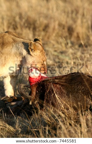 Femle Lion Feeding on Wildebeest Kill