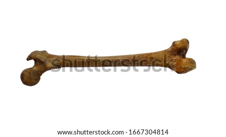 Femur bone of human on isolated white background, posterior view stock photo