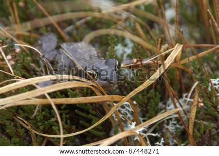 fen scenery with frog sitting in grassy ambiance in Scotland
