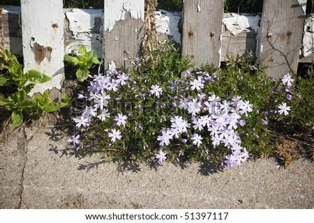 fence , asphalt , gunge bunch of white flower background