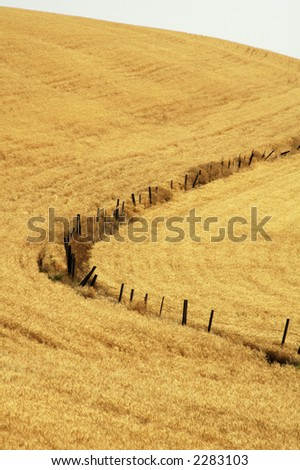 fence line in wheat ready for harvest in the Palouse area of southeastern Washington state