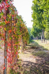 Fence overgrown with autumn leaves decorative wild grapes, ivy. Yellow, green and red leaves of wild grapes on a fence in early autumn