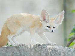 fennec fox, Desert fox, or Vulpes Zerda, alert beautiful small animal.