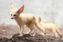 Fennec fox in the zoo in Thailand