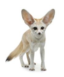 fennec fox on a white background in studio