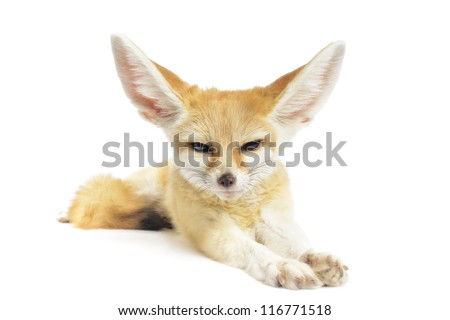 Stock Photo fennec fox on white