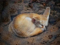 Fennec fox or desert fox sleeping