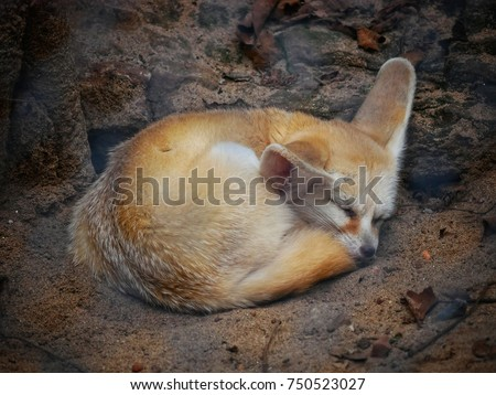 Stock Photo Fennec fox or desert fox sleeping