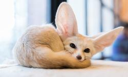 Fennec fox , selective focus