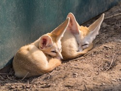 Fennec fox , selective focus, focused on the left one.