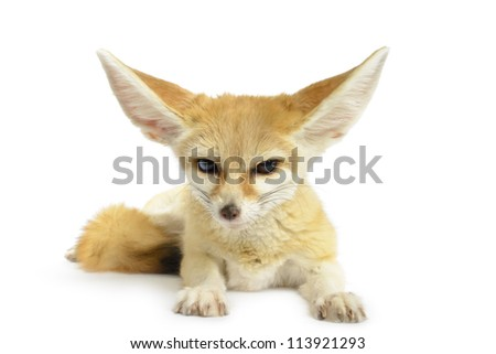 Stock Photo Fennec Fox (Vulpes zerda) isolated on white background.