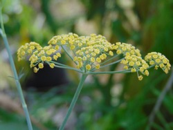 Fennel (Adas) flower. Fennel seeds or spicy fennel (Foeniculum vulgare Miller) have long been known as herbs or medicinal plants.