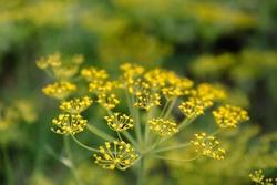 Fennel blossoms. Fennel flowers. Fennel seeds. Seasoning for food. Fennel in a garden. Summertime.